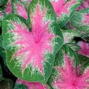 Caladium Rosebud